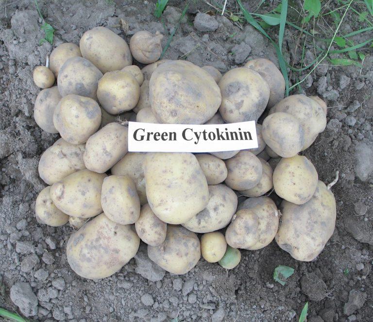 Kartupeļi_Citok_1_m2