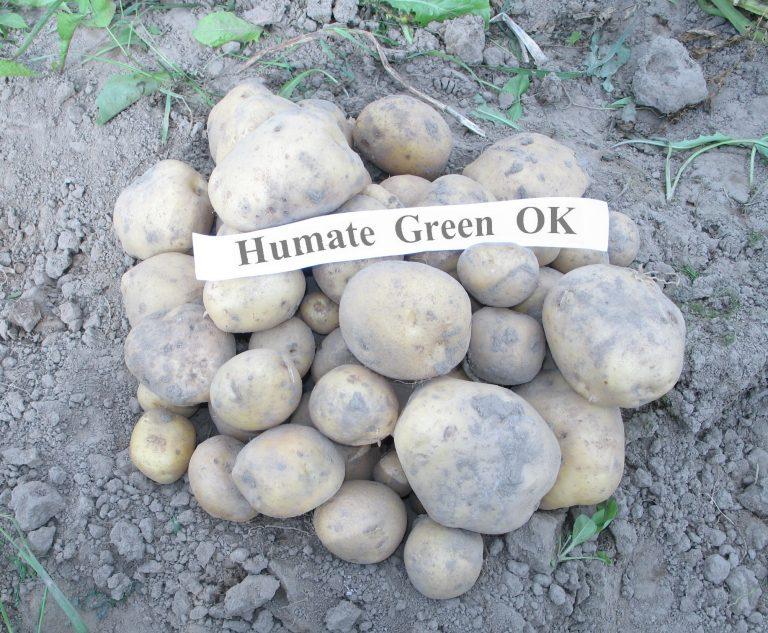 Kartupeļi_GrOk_1_m2